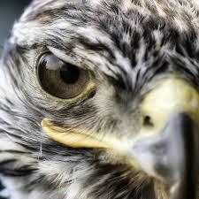الصقور عالم الطيور النبيلة World Of Noble Falcons Home Facebook
