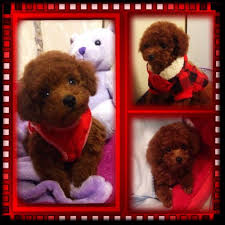 tyler texas akc toy and teacup poodles