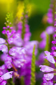 purple larkspur flowers many buds