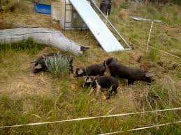 Training The Piglets About 2 Strand Electric Fence Milkwood Permaculture Courses Skills Stories