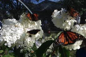New Butterfly Exhibit 'Flutters' Into Benton County Fair [VIDEO]