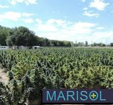 Marisol Therapeutics Dispensary | Pueblo West CO | Leafbuyer