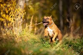 Red American Staffordshire Terrier With Cropped Ears Walks Outdoor.. Stock Photo, Picture And Royalty Free Image. Image 114580524.