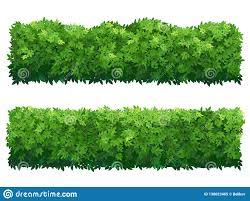 Green Fence From Boxwood Shrubs Ornamental Plant Stock Vector Illustration Of Nature Garden 138623465