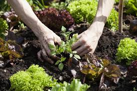 vegetables and herbs to plant in august