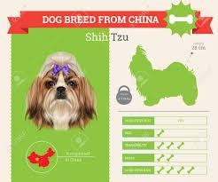 Shih Tzu Dog Breed Vector Infographics ...