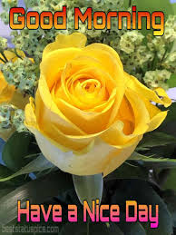 best good morning yellow rose images