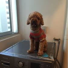 adorable toy poodle for adoption on