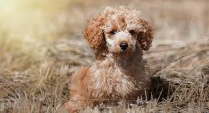 toy poodle all about the world s
