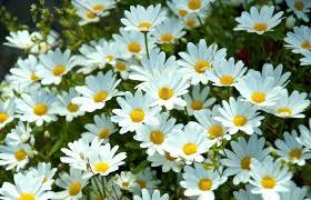 20 خلفية زهور رائعة عالية الدقة مجانا Daisy Background Daisy