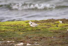 Piping Plover bird print by Byron Griffin. Nantucket Island | Etsy