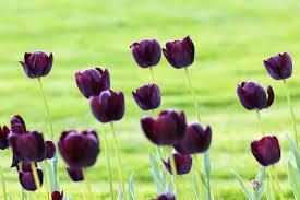 صور ورد أسود أزهار وورود باللون الأسود بجودة عالية روزبيديا