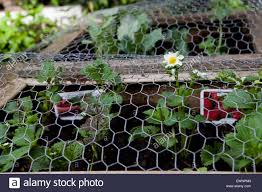 Chicken Wire Plant High Resolution Stock Photography And Images Alamy