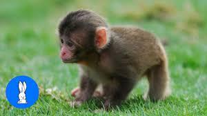 Monkey Mammal 2yamaha Com