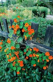 Nasturtium Flowers Climbing Over Fence Levin New Zealand Nz Stock Photo From New Zealand Nz Photos And Stock Photography By Rob Suisted