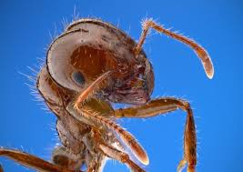 Get Best Fire Ant Killer For Large Areas  Gif