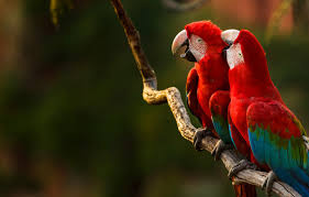 beak parrot green winged macaw