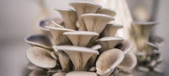 how to grow oyster mushrooms the