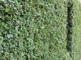Gogardennow The Gardening Blog Luxuriant Evergreen Creeping Fig