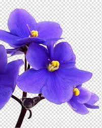 زهرة البنفسج Png