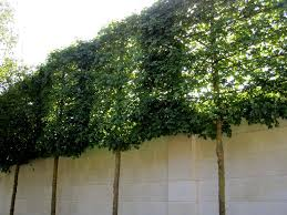Privacy Fence 3 Tips To Create A Green Screen Fastgrowingtrees Com