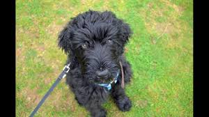 Bobby - Russian Black Terrier Puppy - 4 ...
