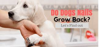 do dogs nails grow back let s find out