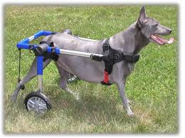 wheelchairs for dogs mobility diity