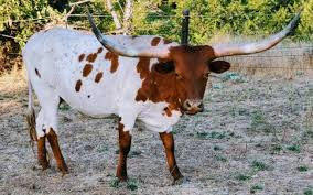 For Sale: 4 Longhorn Cows | Cattle Exchange