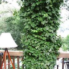 English Ivy S Better Kept In Its Place Deseret News