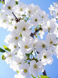 صور ورد ابيض من الطبيعة صور ورد وزهور Rose Flower Images