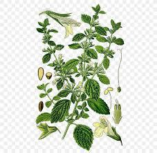 lemon balm garden thyme herb mints