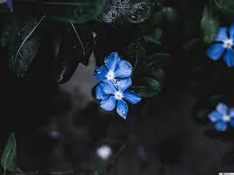 زهرة زرقاء جميلة تنزيل خلفية Hd