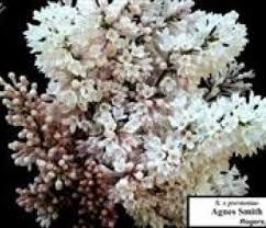 Lilac, Agnes Smith   Fossil Creek Nursery