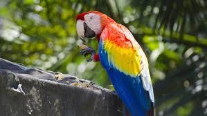 scarlet macaw parrot ultra hd wallpaper