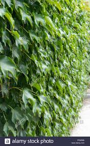 Hedge Boston Ivy Wild Grapes On A Concrete Fence Green Curly Bush As Background Stock Photo Alamy