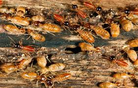 Professional Termite Swarm Removal Near Me Bula Texas   855-901-3066
