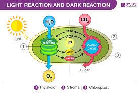 light reaction and dark reaction