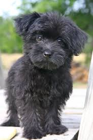 If I had this dog his name would be Sherlock | Designer dogs, Yorkie poo  puppies, Yorkie poo