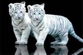 gb white tiger cubs baby