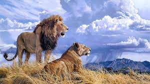 lion and lioness wallpapers wallpaper