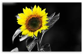 sunflower black and white ultra hd