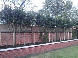 garden trees for privacy screening