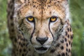 tourism is harming cheetahs