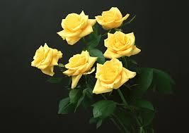 six yellow roses hd wallpaper
