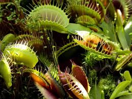Ultimate Venus Fly Trap Care Guide ...