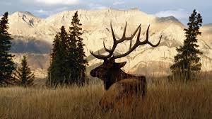 elk wallpapers top free elk