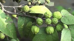 Mutamba (Guazuma ulmifolia) for Immune... - Raintree - Amazon ...