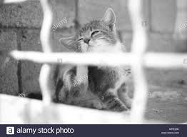 Kitten Paws Scratches Behind An Ear Outdoor Portrait Through The Fence Fleas And Ticks In Pets Bw Photo Stock Photo Alamy