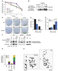 Expression of human BRCA1 variants in mouse ES cells allows functional  analysis of BRCA1 mutations